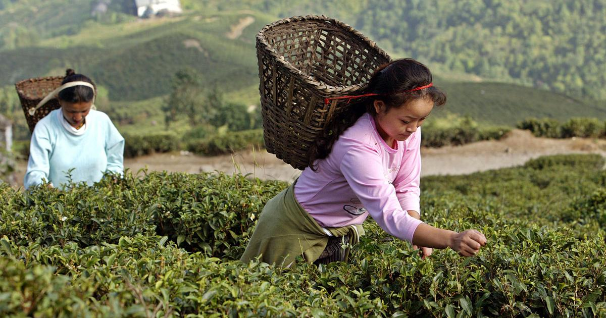 Tea Production in India